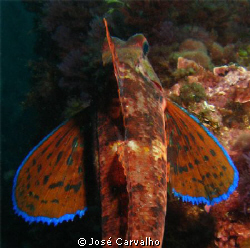 Gurnard - Beautiful creature, from any angle you want to ... by Jos&#233; Carvalho 